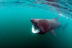 Megamouth-Shark-photo